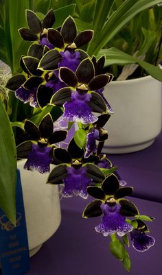 Unusual Flowers, Amazing Flowers, Purple Flowers, Beautiful Flowers, Purple Orchids, Orchid Flowers, Dendrobium Orchids, Delphinium, Beautiful Gorgeous