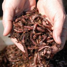 I have worms composting food in my kitchen. Learn more about vermicomposting, including benefits and how to. Organic Fertilizer For Vegetables, Fertilizer For Plants, Organic Gardening Tips, Organic Plants, Organic Compost, How To Make Compost, Making Compost, Organic Recipes, Ethnic Recipes
