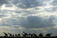 Giraffe Herd along Chobe River, Chobe National Park, Botswana Photographic Print