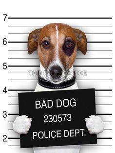 JACK RUSSELL DOG MUGSHOT POLICE BAD PHOTO ART PRINT POSTER PICTURE BMP2038B