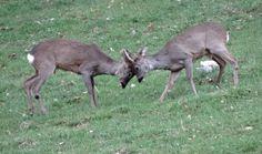 Les jeunes mâles croisent le fer, Bullet, avril 2014