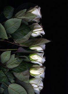 White roses, so beautiful