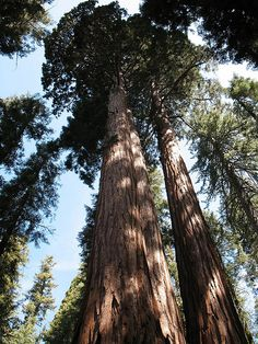 Sequoia National Park  *I think that I shall never see a poem as lovely as a tree*-Joyce Kilmer