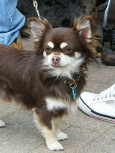 chocolate long haired chihuahua nora caswell portfolio