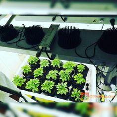 Alien Rift 21 days in coco smart pots happily growing under my COB LEDS from PLC  Full grow journal at:  http://ift.tt/2iP3u9M  TAP LINK IN BIO @howtogrowweed420  #420 #ganja #weed #marijuana #cannabis #maryjane #weedstagram #highsociety #stoner #medicalmarijuana #mmj #ogkush #og #loud #dank #hydroponics #aeroponics #howtogrowweed #growingweed #420dotcom #howtogrow #howtogrowweedindoors #karmagenetics #growyourown #growyourownmeds #bodhiseeds #pacificlightconcepts #growmau5 #oceangrownseeds…