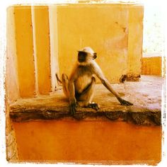 #theworldything #theything #monkey #india #amberfort (scheduled via http://www.tailwindapp.com?utm_source=pinterest&utm_medium=twpin&utm_content=post6006038&utm_campaign=scheduler_attribution)