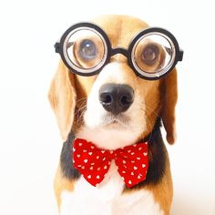 Professor Beagle Más