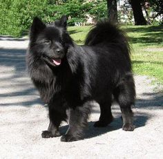 swedish lapphoun. They are like the black version of a samoyed!