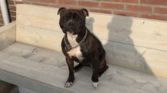Tayron #sbt #stafford #dog #powerbreed #staffordshirebullterrier