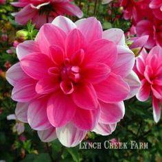 Hot pink waterlily dahlia