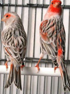 Pretty Birds, Love Birds, Beautiful Birds, Animals Beautiful, Animals And Pets, Cute Animals, Canary Birds, Ostriches, Bird Aviary