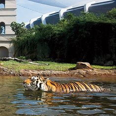 LSU's Maned Mascot  On game days at LSU, opposing players must walk past an actual caged tiger (these days, a Bengal-Siberian mix named Mike VI). A generous donor gave money to build the mascot a beautiful habitat, hard by Tiger Stadium, where Mike lolls in luxury, behind clear walls, between games.