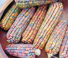 Indian dent corn. The beautiful 8-10 inch ears carry kernels in soft shades of blue, gold, orange, bronze, mauve-pink, red, green, and brown.