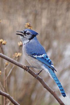 Blue Jay by Cherylorraine Smith