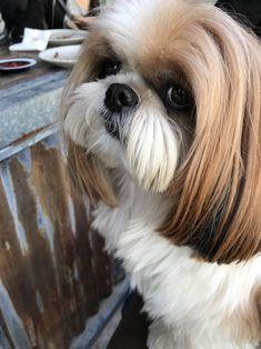 best picture ideas about shih tzu puppies - oldest dog breeds #DogBreeds #shihtzu