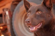 Sad news to report that Koko, the kelpie that won the hearts of a nation after the mega hit RED DOG released in Australia, has suffered a case of life imitating art and passed on. Red Dog, Australian Cattle Dog, Working Dogs, Cute Dogs, Awesome Dogs, Mans Best Friend, Puppy Love, Best Dogs, Dog Breeds