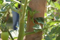 rajcata - jak se o ne starat