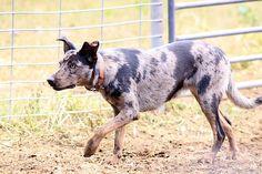 Australian koolie dog photo | Cute Dogs Pet: Koolie Dog