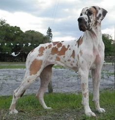 neatly colored dane. Looks exactly like mine great dane Patouch