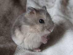 All about the Syrian hamster (a.a golden / teddy bear hamster), how to take care of them, plus lots of photos, tips and tricks. Chinese Dwarf Hamster, Russian Dwarf Hamster, Syrian Hamster, Robo Dwarf Hamsters, Funny Hamsters, Bear Hamster, Hamster Care, Hamster Toys, Cute Funny Animals