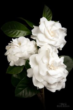 MY FAVORITE FLOWERS - Gardenia flowers