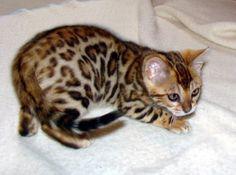 A-Kerr's Bengal cats | Bengal Cats Bengals Illustrated Directory