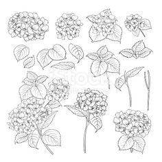 Black contour of hydrangea on white background. Mop head hydrangea flower isolated over white. Beautiful set of blooming flowers. Hydrangea Tattoo, Hydrangea Flower, Black Tattoos, Small Tattoos, Tattoo Schwarz, Watercolor Projects, Floral Drawing, Sister Tattoos, Black And White Drawing