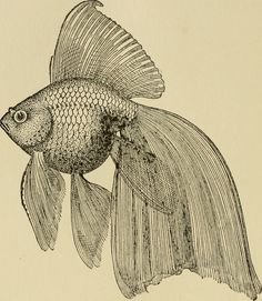 """Image from page 35 of """"Goldfish varieties and tropical aquarium fishes; a complete guide to aquaria and related subjects"""" Fish Drawings, Animal Drawings, Art Drawings, Tropical Animals, Tropical Fish, Tropical Aquarium, Koi Art, Fish Art, Botanical Illustration"""