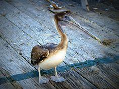 Pelican 2 by Steve Hunter