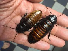 """Adult Madagascar Hissing Cockroaches Are The Creepy Pets Nobody Wants To Get As A Gift Have your kids hit that adorable stage wherein every three words out of their precious paycheck-devouring mouths seem to be, """"We want a puppy? Gemstone Countertops, Madagascar Hissing Cockroach, Weird Things On Amazon, Cockroach Control, Roach Killer, Amazon New, Roaches, Nicolas Cage, White Elephant Gifts"""