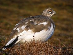 Las aves que se identifican en estas frías regiones son el búho nival, Bubo scandiacus, el halcón gerifalte, Falco rusticolus y la perdiz blanca, Lagopus muta, que cambia su plumaje de blanco a otro con manchas parduscas en los meses de verano.