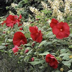 Hardy hibiscus              Hardy hibiscus forms showstopping 8- to 12-inch-diameter flowers on plants 3-6 feet tall. The blooms appear in shades of red, white, salmon, or pink. Although it grows best in moist soil, it tolerates drought well. Here it teams with oakleaf hydrangea (Hydrangea quercifolia  and yew (Taxus spp.).                                          Name: Hibiscus moscheutos                                          Growing Conditions: Full sun and moist well-drained soil…