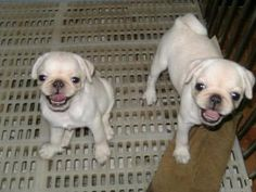 pug puppies for sale in missouri | Zoe Fans Blog