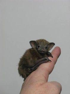Bumblebee Bat Oh, my heart melted! Cute Creatures, Beautiful Creatures, Animals Beautiful, Murcielago Animal, Nature Animals, Animals And Pets, Bumblebee Bat, Vida Animal, Baby Bats