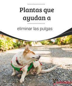 Plantas que ayudan a eliminar las pulgas Las pulgas son una plaga que pueden llegar a convertirse en algo doloroso para tu perro. Te enseñamos cómo eliminar las pulgas través de plantas. #pulgas #eliminar #plantas #salud