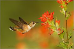 https://flic.kr/p/a8bKzS | Rufous Hummingbird with Indian Paintbrush | Glacier County, Montana | June | Canon 1D4 | Canon 600mm f4 IS