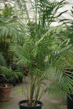 Chamaedorea hooperiana