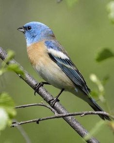 Lazuli Bunting (Passerina amoena) Around thickets & streamside trees of the West, this sky-blue bunting is common in summer. Males are conspicuous in summer, singing in the open, but the plainer brown females are far more elusive as they tend their nests in the thick bushes.