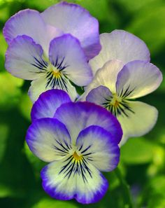These may be pansies but I think the are violas.