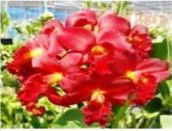Site to sell your orchid plants Orchid Plants, Orchids, Cattleya Orchid, Red Dragon, Things To Sell, Orchid
