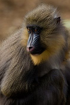 Mandrill at Colchester Zoo by Sophie L. Miller, via Flickr