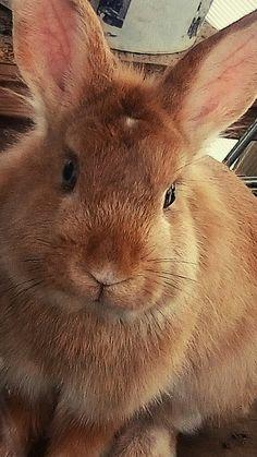 Looks like my Charlie Bear! Big Bunny, Cute Bunny, Bunny Rabbit, Animals And Pets, Baby Animals, Funny Animals, Cute Animals, Little Bunny Foo Foo, House Rabbit