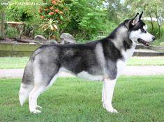 Siberian Husky, 1 year, Black, side pose