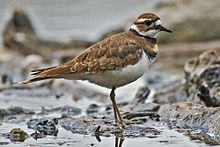 Killdeer - the female can be quite an actress if she thinks her nest is threatened.