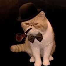 exotic shorthair cat - Google Search