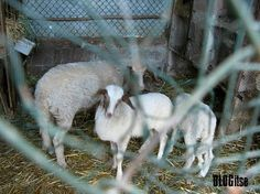 blogitse.com animals in Tuscany, Italy by BLOGitse. We buy eggs from a farmhouse near by…