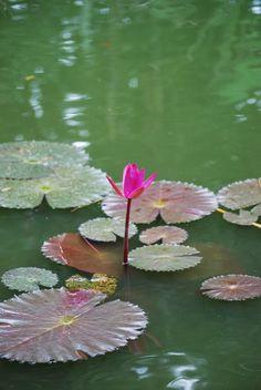 Photo : Le nénuphar rose,  Fleurs et plantes, Fleurs, Guadeloupe, Nénuphars, Deshaies. Toutes les photos de Genevieve LAPOUX sur L'Internaute