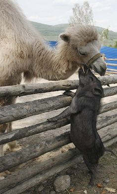 pig and camel are friends