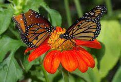 mariposas monarcas - Google-Suche