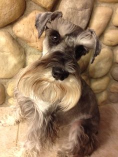 A darling mini schnauzer so sweet and loves to go on long walks and swim in the swimming pool , when your having a bad day he is always there to make you smile never judging you just wanting to give you love  * * * * * * * * * *  Zackary schnauzer is his name